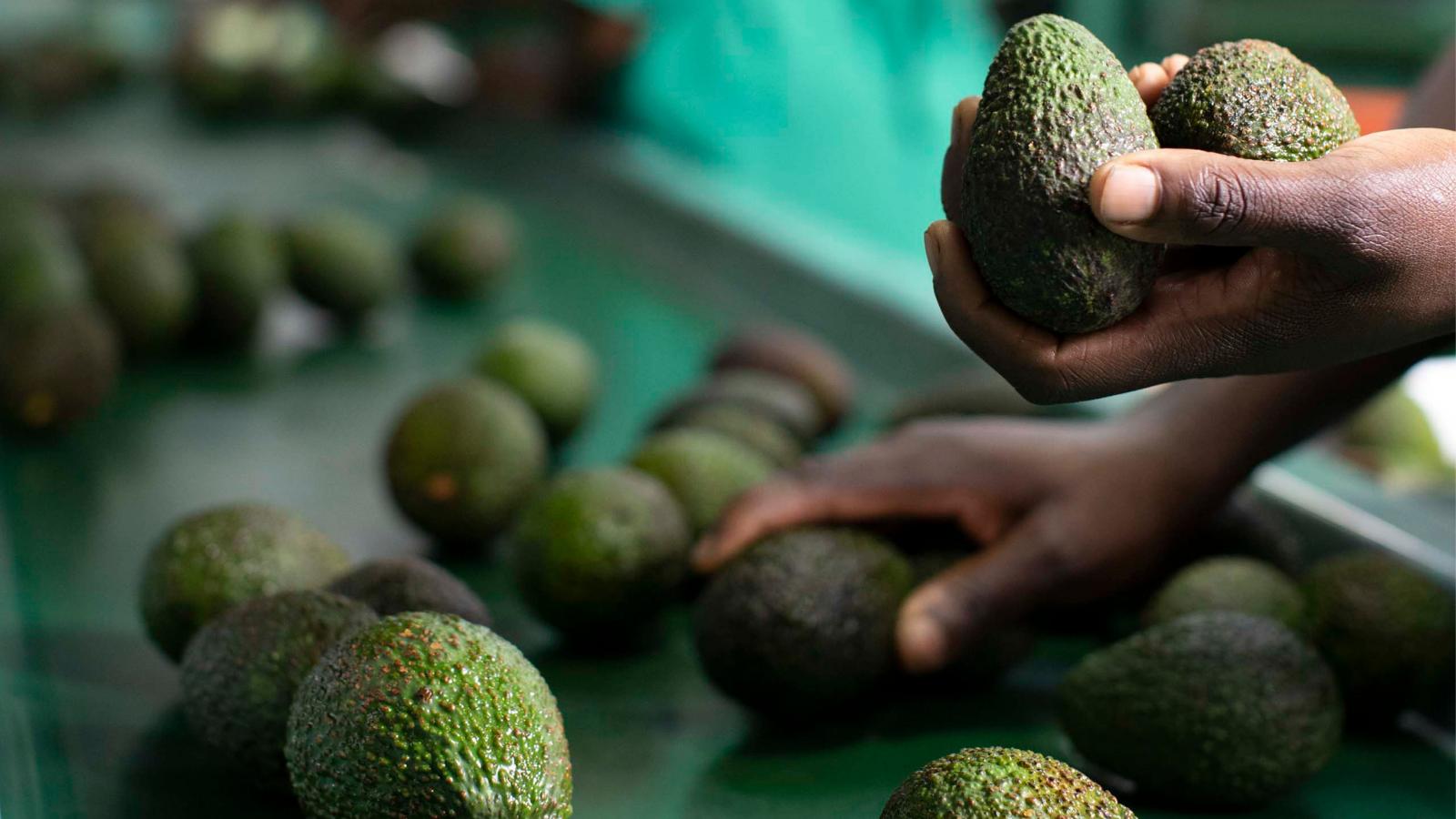 Avocado Market Trends 2021